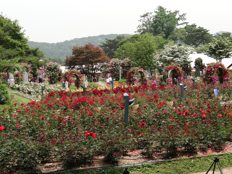 Seoul Rose Garden Festival | Deceptively Blonde