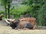Long-Horns